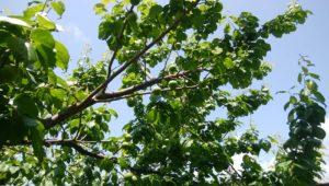 いよいよ梅の季節が来ました。6月初旬より販売開始します。