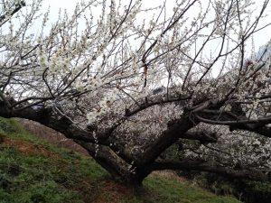 梅が満開です