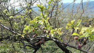 梅の花が散り、もう実がなりました。あと一月で出荷です。